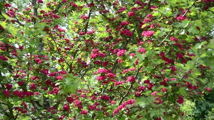 Tilt wonderful hawthorn (Crataegus laevigata) tree twigs blooms