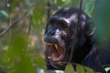 Chimpanzee displaying teeth