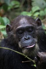 Chimpanzee feeding