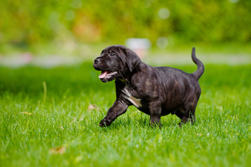 happy cane corso puppy outdoors
