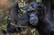Male chimpanzee gazing into the forest