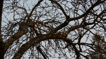 panorama of branch saw trim in spring tree garden.