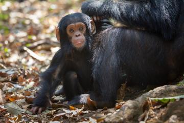 Infant chimpanzee in Gombe National Park, Tanzania