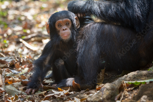 Foto op Canvas Aap Infant chimpanzee in Gombe National Park, Tanzania