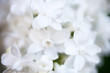 Closeup of white Lilac flowers