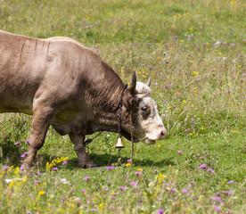 Bull on pasture