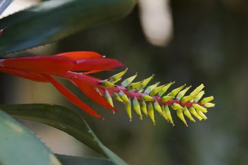 Bromelia Aechmea nudicaulis