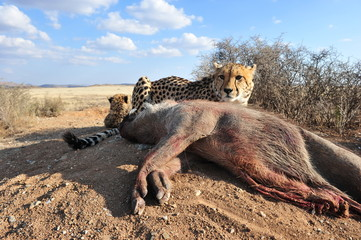 An African Cheetah feeding on a warthog