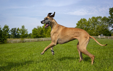 Great Dane striding in field, no ball