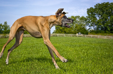 Great Dane in silly lope in field