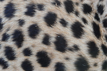 Closeup fur pattern of the Cheetah