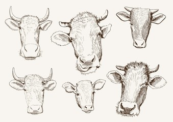 head of cows