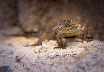 Desert Spiny Lizard looking at you