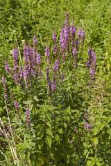 Flora - Schmetterlingsflieder