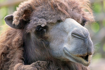 Portraif of a camel
