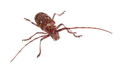 The Carolina pine sawyer longhorned beetle, Monochamus carolinen