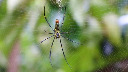 beautiful big spider on web