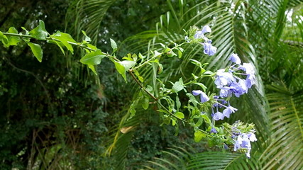 Flower Plumbago auriculata, blue blossom, tropical forest