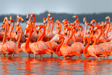 Greater Flamingos,phoenicopterus roseus, standing in the river