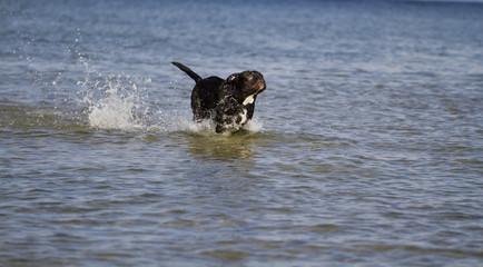 Bulldogge rennt durchs Wasser