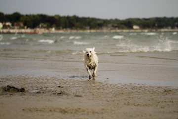 Terrier laufend am Hundestrand