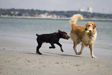 Golden Retriever und Labrador Welpe