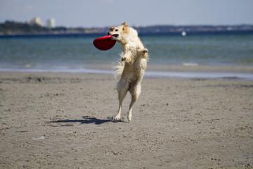 Hund springend mit Frisbee am Strand