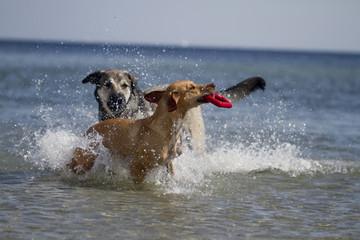 Spielende Hunde im Wasser