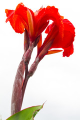 Isolates low view of red canna flowers wet with dew, beautiful