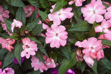 New Guinea Impatiens flower