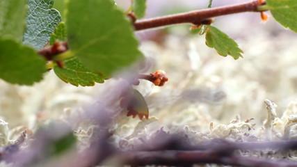Polar Birch macro on moss