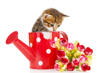 Cute little kitten in watering can isolated on white