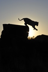 Silhouette shot of a tiger coming down from a rock