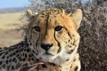 Portrait shot of an African Cheetah
