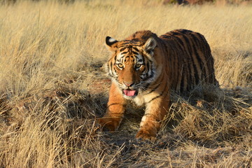 Portrait shot of a young tiger cub