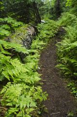 Path Through the Ferns