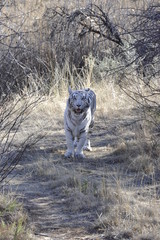 Shot of a rare white tiger in the wild