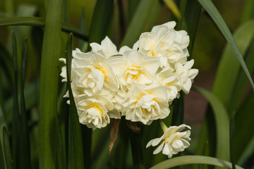 cluster of pale yellow daffodils