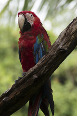 Parrots: scarlet macaw