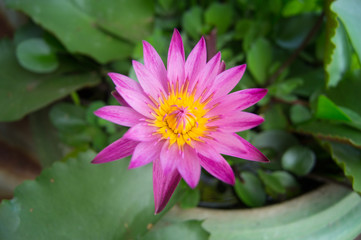 Pink Blooming Lotus
