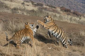 Bengal Tigers playing