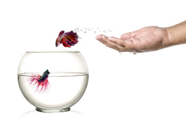 Siamese fighting fish jumping out of fishbowl  isolated on white