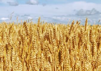 Ripe wheat on a field.