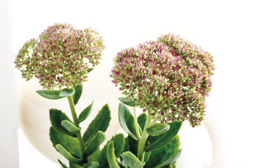Sedum Blumen, close -up