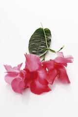 Blumen Mandevilla ( Dipladenia )