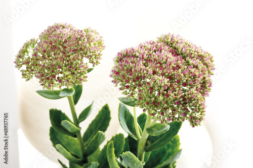 canvas print picture Sedum Blumen, close -up