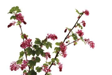 Blühende Johannisbeere, blühende Zweig