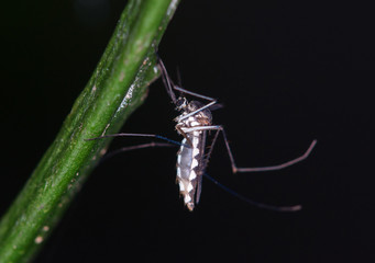 mosquito clinging on plant twig