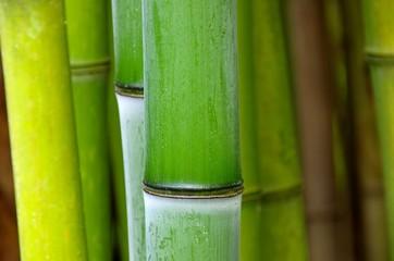 Bambus - bamboo 50