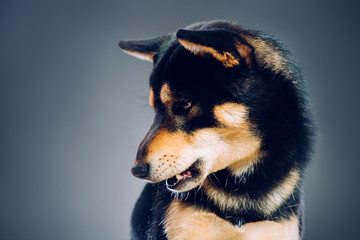Portrait of a dog. shiba inu. studio shot on dark background